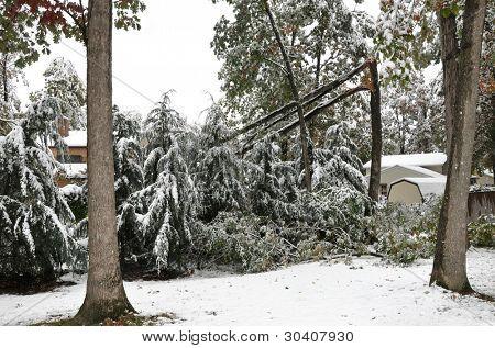 Tree broken by heavy snowfall