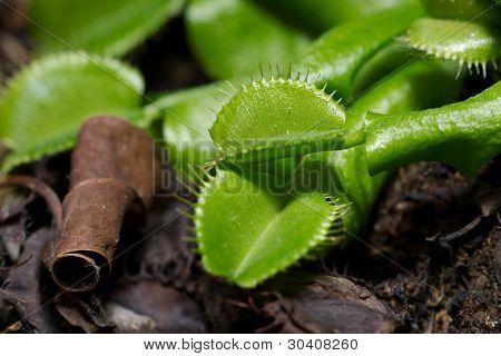 Venus Flytrap Plant Dionaea muscipula