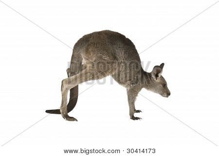 Eastern Grey joey kangaroo hoping on white background