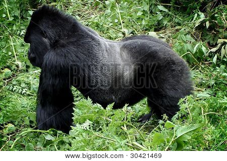 Wild Silverback Mountain Gorilla
