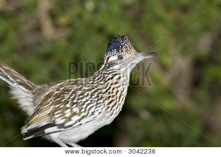 Greater Roadrunner Watching