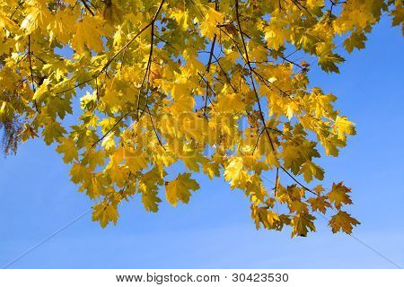 Maple (autumn)