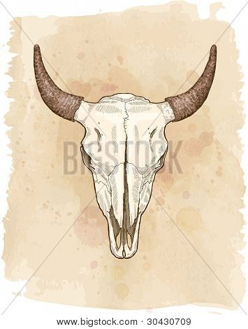 cow ckull - vector sketch. Bitmap copy my vector