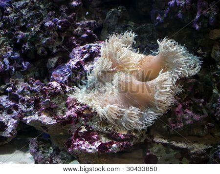 Anemon bajo el agua