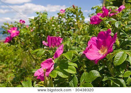 Wild rose. Dogrose #1.Seacoast.
