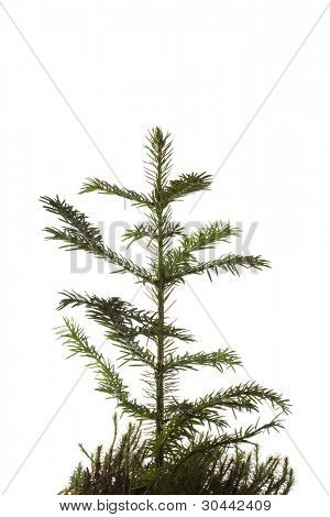 Natural small Christmas fir tree(sapling) with a grass isolated on white.