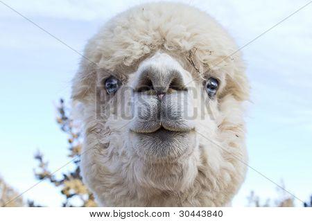 Funny Face White Alpaca