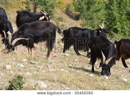 Goats in countryside.