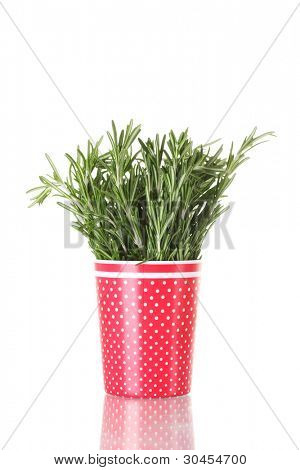 fresh green rosemary in red cup isolated on white
