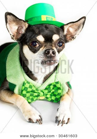 St. Patty's Day Chihuahua