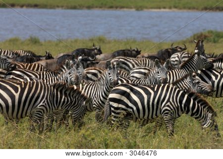 Zebra And Wildebeest During Migration