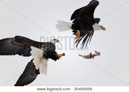 Bald Eagles Fight In Air