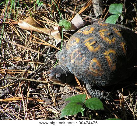 Sleepy Turtle
