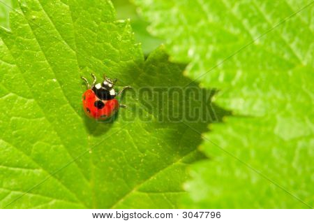 Red Ladybug (Coccinella Septempunctata) On Green Leaf
