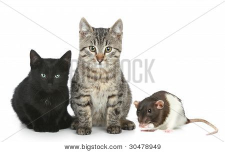 Cats And A Rat