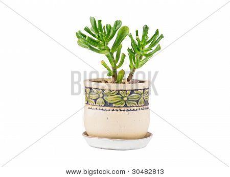Crassula helmsii Kirk (Tillaea)