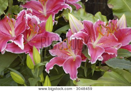 Bouquet Of Beautifull Pink Lilies, Close Up