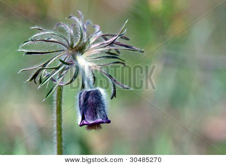 nice pascue flower - macro shoot