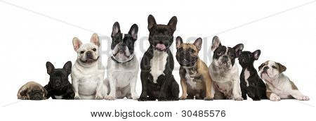 Group of French bulldogs in front of white background