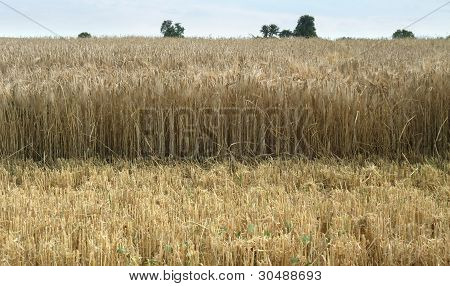 Wheat Detail At Summer Time