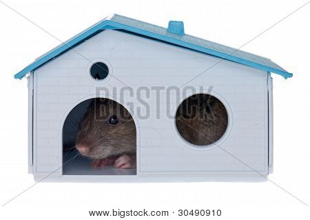 Domestic Rat In The Small House