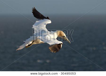 A gannet in the sky