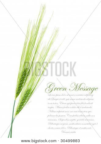Ears Of Young Green Wheat. File Contains Clipping Path For Separate Spica