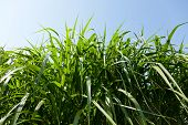 stock photo of ethanol  - Miscanthus plants are grown in agriculture for biofuels diesel and ethanol - JPG