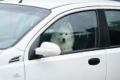 White Samoyed Sitting In Car, Copy Space. Dog Left Alone In Locked Car. Abandoned Animal In Closed S poster