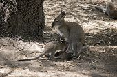 The Red Necked Wallaby Is Feeding Her Joey poster