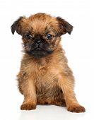 Griffon Bruxellois Puppy poster