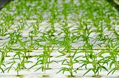 stock photo of hydroponics  - soilless culture or hydroponic technology in glasshouse - JPG