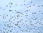 Blue Sky of Starlings Silhouette