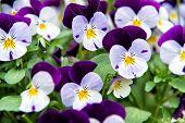 Heartsease Viola Flower. Viola Genus Of Flowering Plants In Violet Family Violaceae. Beautiful Gorge poster