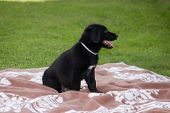 Sitting Black Dog Portrait - Labrador Hybrid And Retriever.black Ten Week Old Puppy Labrador Sitting poster