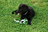 Lying Black Dog Portrait - Labrador Hybrid And Retriever.black Ten Week Old Puppy Labrador Lying On  poster