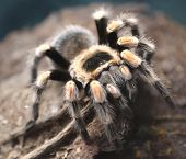 Large Poisonous Hairy Tarantula Photographed Closely In The Amazon Rainforest poster