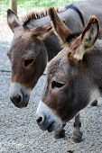 pic of burro  - Heads of two burros just hanging out - JPG
