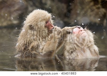 Snow Monkeys Grooming In Hot Spring