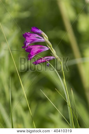 Gladiolus Imbricate On Spring Meadow.