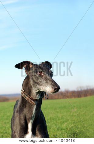 Black Greyhound Wait For Hunting