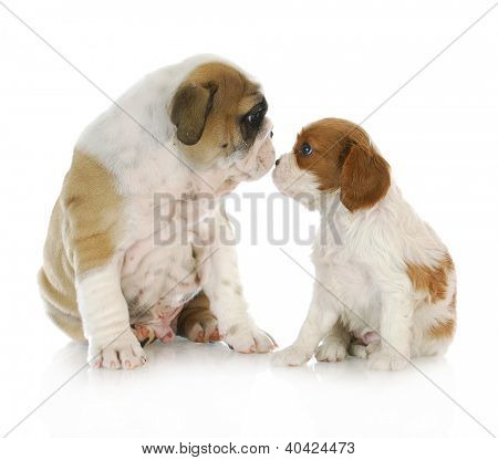 puppy friends - english bulldog and cavalier king charles spaniel puppies kissing isolated on white background