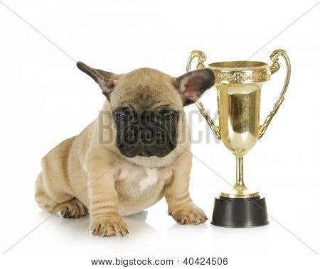 winning dog - french bulldog puppy sitting beside trophy - 8 week old frenchie puppy
