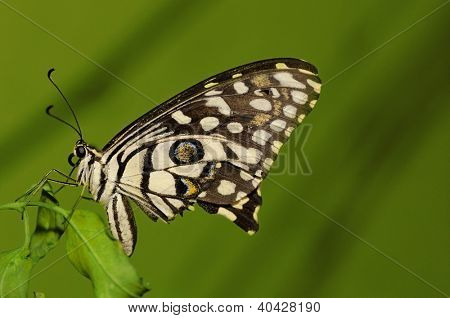 Lime butterfly (Papilio demoleus) is a butterfly usually seen in large parts of Asia.