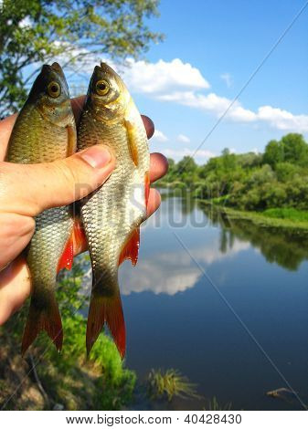 two caught ruddes in a hand