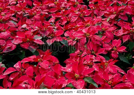Poinsettia  the beautiful flowers