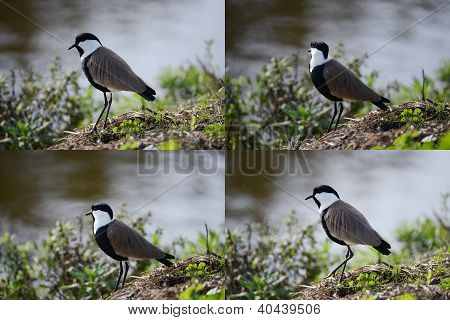 Sets Spur-winged Lapwing