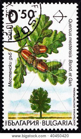 Postage stamp Bulgaria 1992 Oak, Quercus Robur