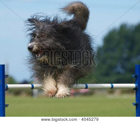 Shaggy Dog Jumping