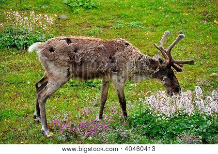 Caribou Feeding On Flowers